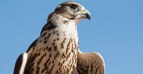 Your animal totem: the Falcon